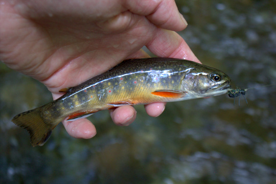Brook trout liked beetles too in Cataloochee