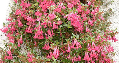 How to take cuttings of Abelia