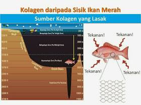 shaklee ikan merah