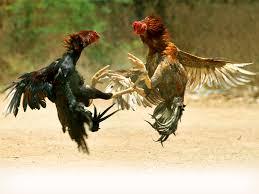 Sejarah perjudian sabung ayam menurut legenda di indonesia