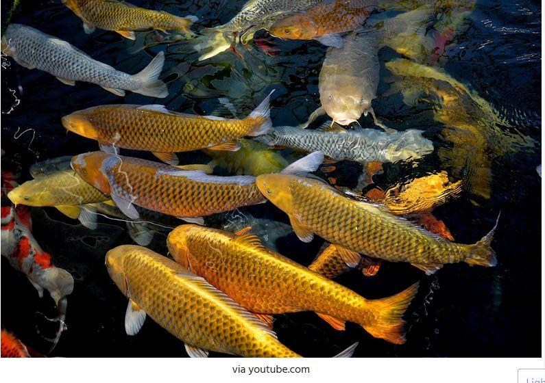 Ternak Ikan Koi
