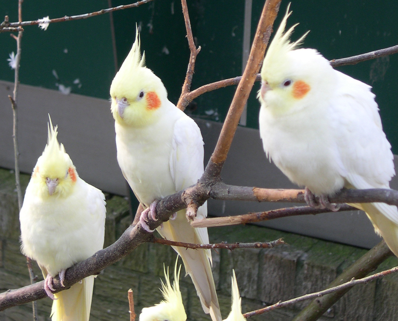 Bird Directory: Cockatiel
