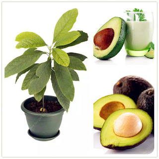 How Long Does It Take an Avocado Pit Plant to Grow