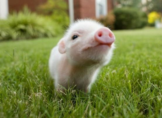 Pig S Favorite Food
