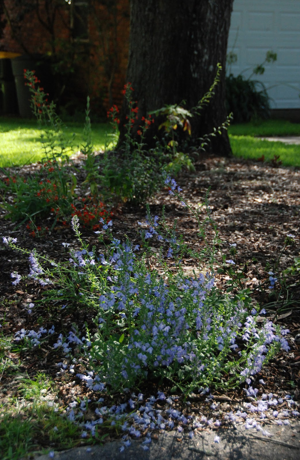 ... Create A Pollinator Garden For Sean, The Skullcaps Were In Full Bloom.  How Full Of Blossoms The Plants Are And What A Beautiful Blue Those Blooms  Are!