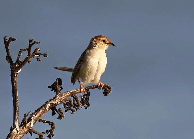 sudafrican birds Cisticola
