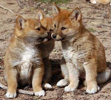Dingo Koira
