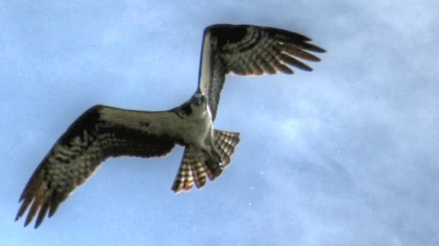 Osprey Hunting And Catching Fish