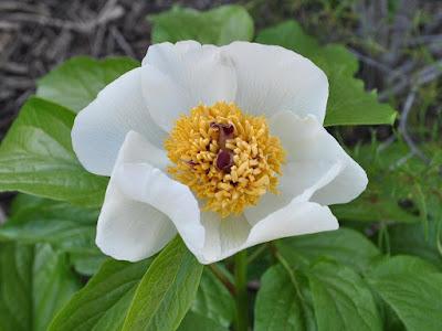 Пион Виттмана (Paeonia wittmanniana Hartwiss ex Lindl.)