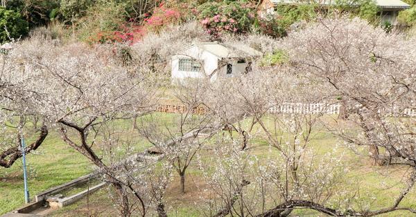 新社梅林親水岸賞梅花好去處,還有民宿和露營區,親子同遊也適合
