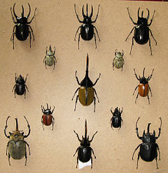Kumbang Badak, Hewan Terkuat di Dunia