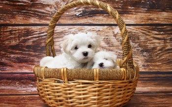 Wallpaper: Maltese Puppies