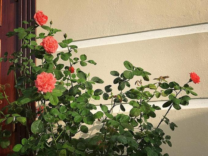Sân vườn 50 m2 phủ kín hoa hồng của bà mẹ Hòa Bình -7