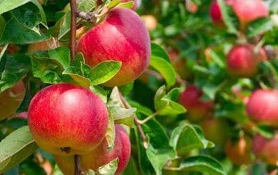 Manfaat Khasiat Cuka Apel