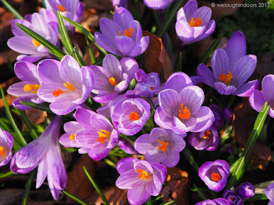 Crocusses by We Laugh Indoors