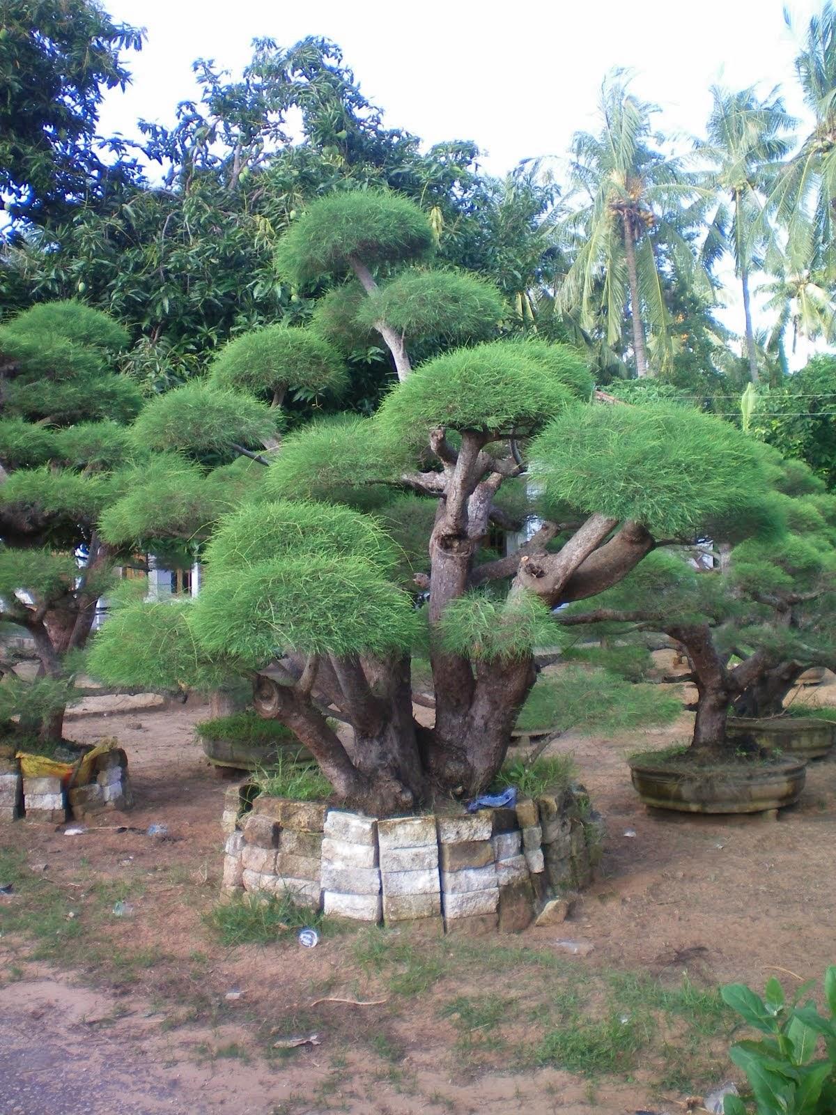 Harga jual pohon bonsai cemara udang