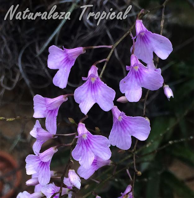 Orquídea epífita con flores muy pequeñas pero abundantes. Ionopsis utricularioides.