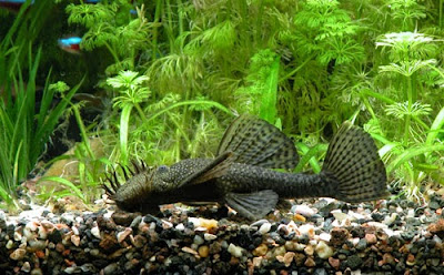 PLECOSTOMUS ANCISTRUS