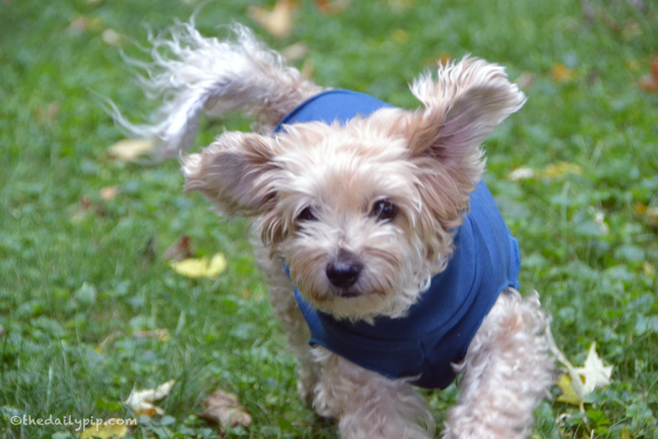 Ruby, the rescued yorkie-poo takes off running on wordless wednesday