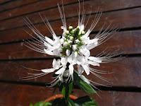 クミスクチン〔猫の髭〕の花