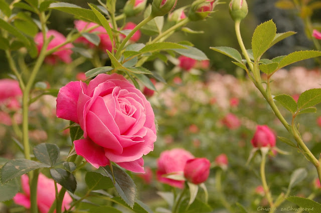 róża Gemma