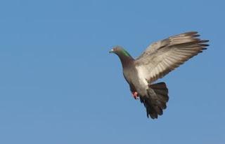 O voo do pombo-das-rochas