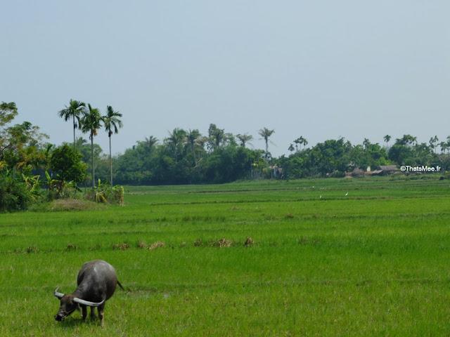 riziere buffle eau hoi an vietnam