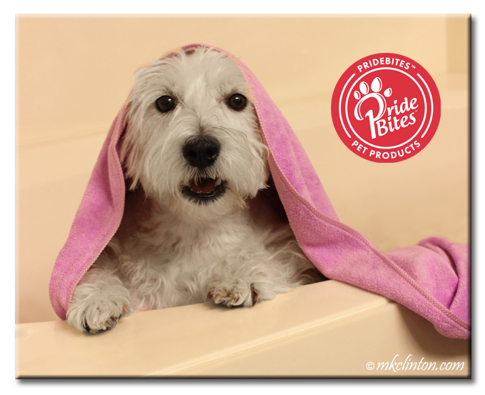 Westie in bathtub with purple towel on his head