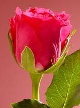 Trandafirii, intrebuintari curative