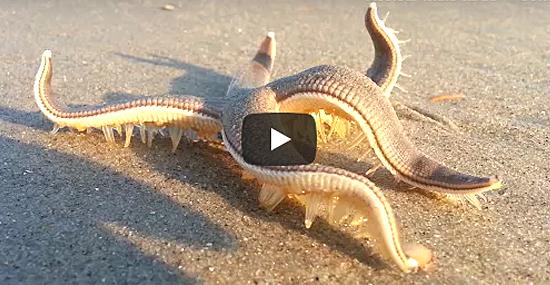 Bizarro - Estrelas do Mar andando de um jeito muito estranho são filmadas - Capa