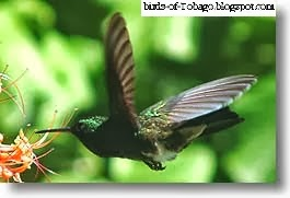Copper-rumped hummingbird (Amazilia tobaci) Hummingbirds (Trochilidae)