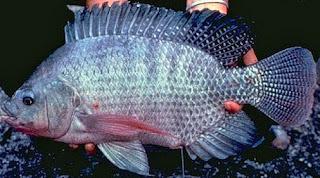 cara budidaya ikan mujair di kolam terpal,cara budidaya ikan mujair di kolam tembok,cara budidaya ikan mujair merah,cara budidaya ikan mujair nila,cara budidaya ikan mujair di aquarium,