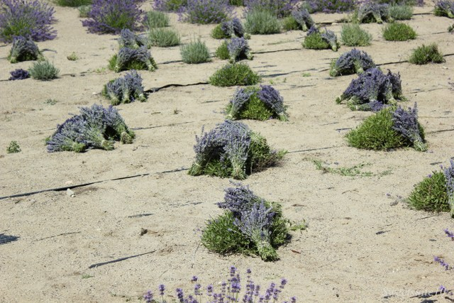 field of drying lavender bundles
