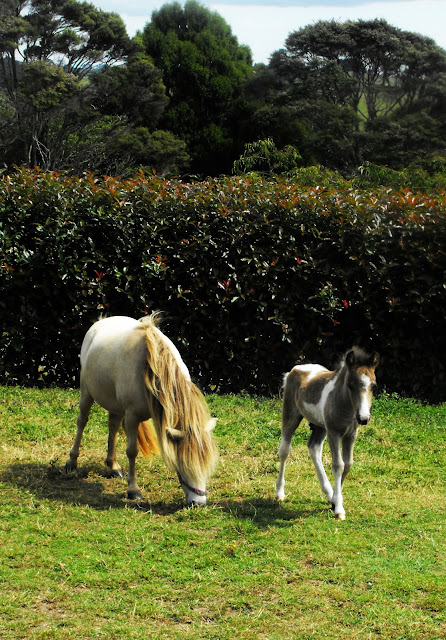 Coal with his mother a white miniature horse