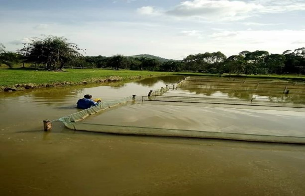 Tilapia Fish Management Business Plans