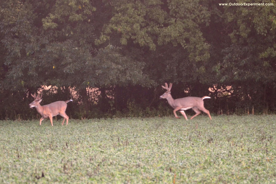 Detecting human scent, bucks flee!