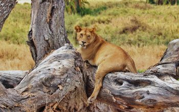 Wallpaper: Lioness relaxing in tree