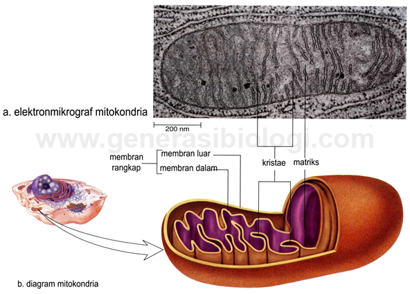 Struktur Dan Fungsi Organel Mitokondria Penjelasan Lengkap Generasi Biologi