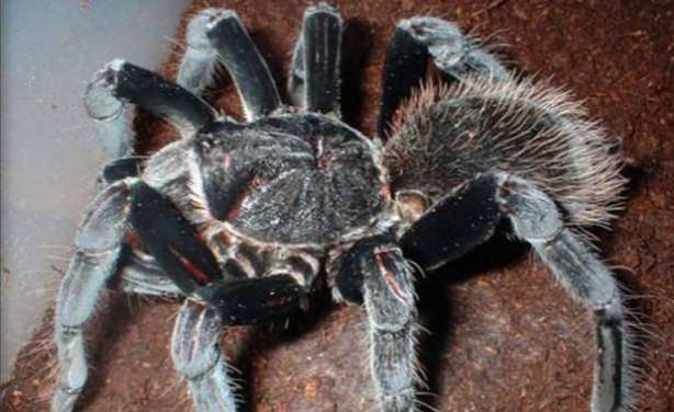 Dünyanın En Tehlikeli  ve Büyük 10 Zehirli Örümceği - Kolombiya Dev Siyah Tarantulası