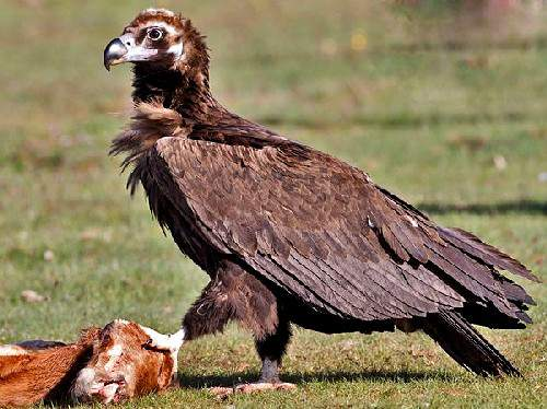 Indian birds - Image of Cinereous vulture - Aegypius monachus