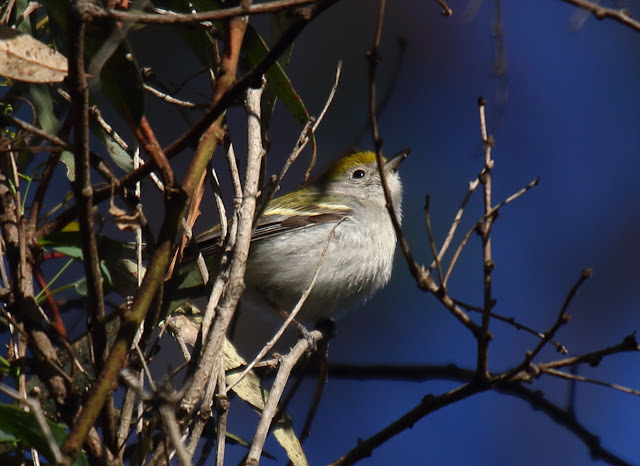 Chestnut-sided Warbler, Carlsbad, California