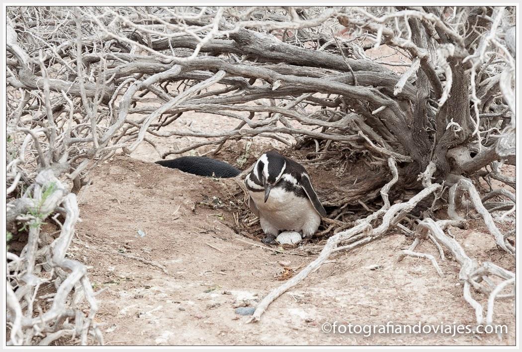 nido de pingüino de Magallanes en Punta Tombo