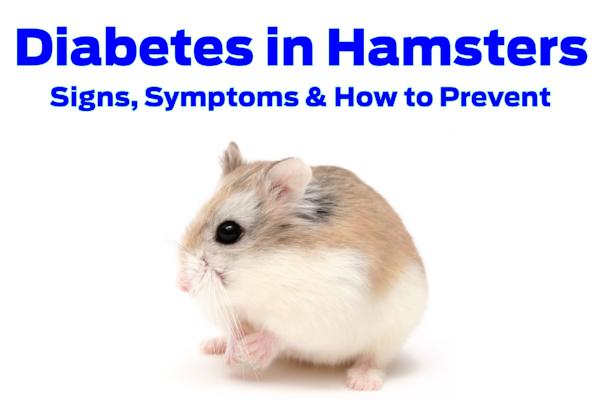 Diabetes in Hamsters