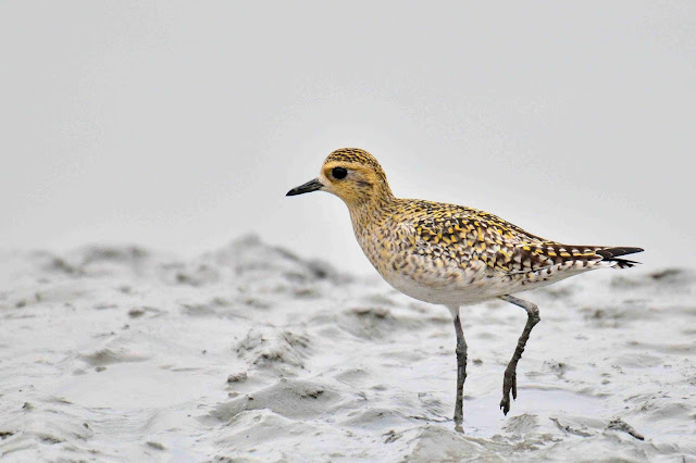 Long Toed Stint Bird at Samshernagar Sundarban
