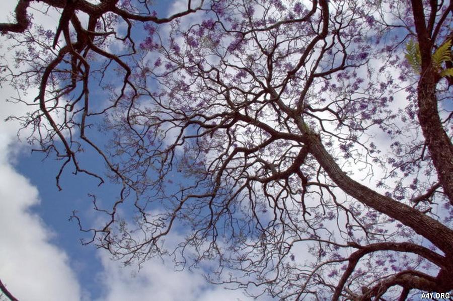 màu tím của phượng hòa vào bầu trời xanh