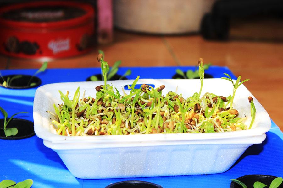 Hidroponik Kangkung di styrofoam bekas nasi kotak.