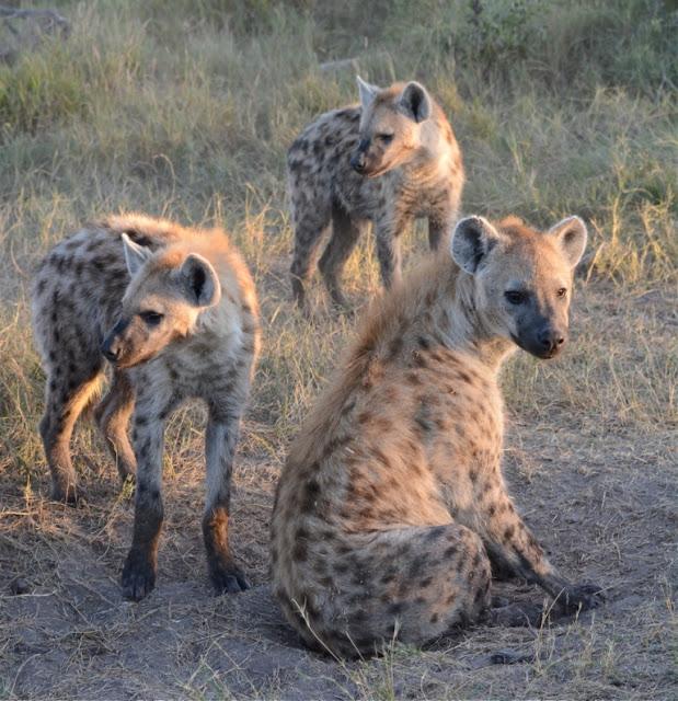hyenas, hyena's, wildlife, Botswana, safari, young hyenas, Afrika, Africa, zuidelijk Afrika, wildpark, safaritoerisme,