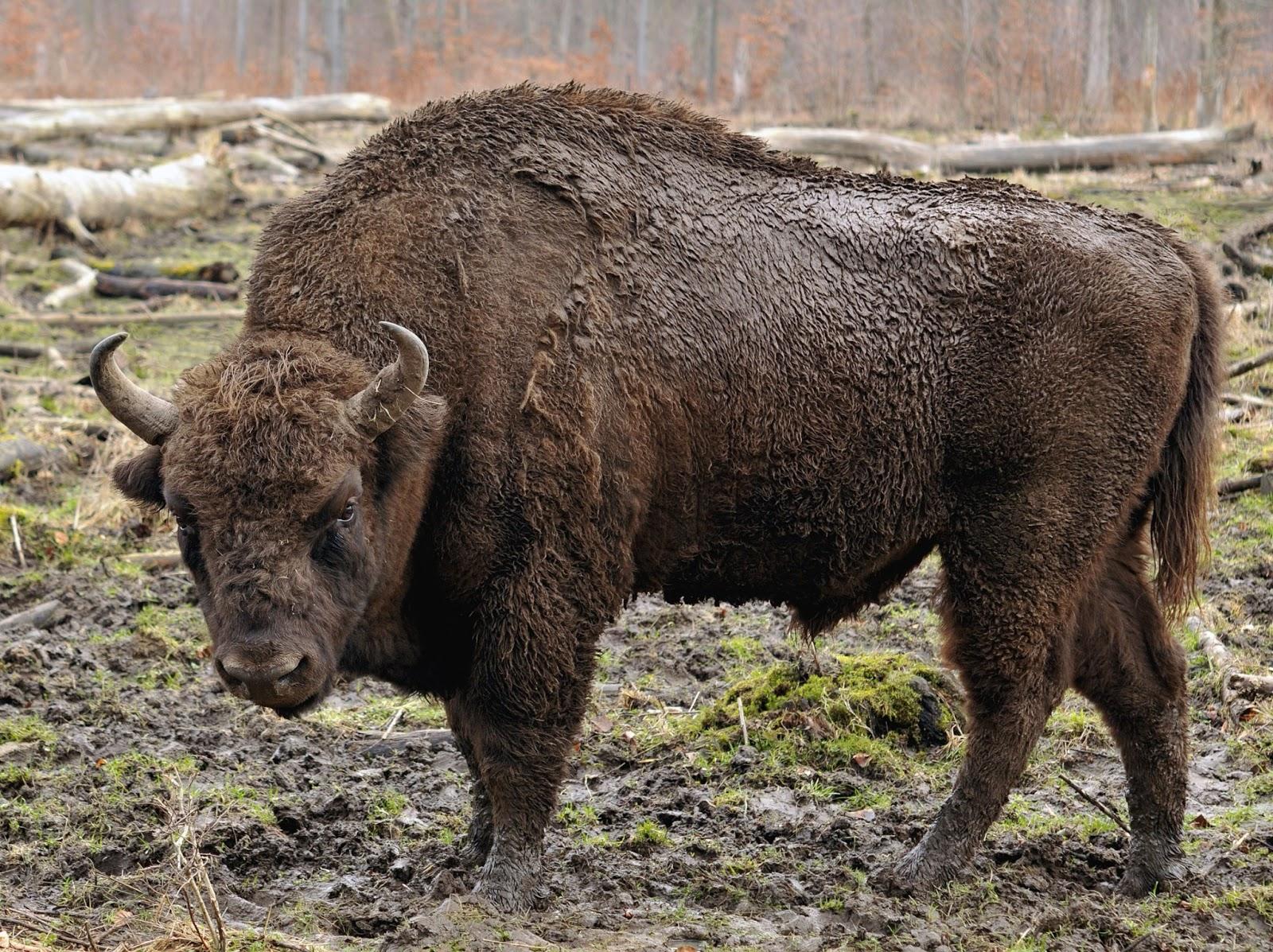 bison - photo #17