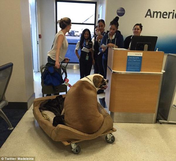 Chú chó nhà giàu được ưu tiên ngồi ghế hạng sang vì mắc bệnh béo phì