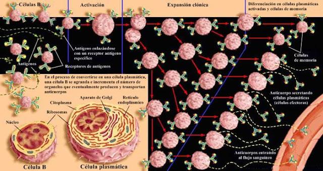 Célula B de memoria: selección clonal de una célula B
